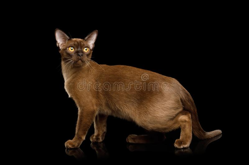 Brown burma cat isolated on black background. Adorable Sable Burma Cat Standing and Looking in Camera, isolated on black background, side view stock images