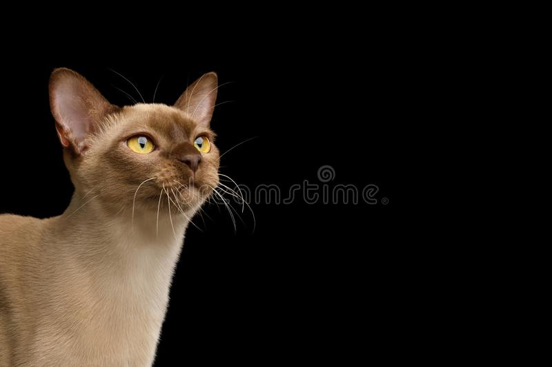 Brown burma cat isolated on black background. Close-up Portrait of Chocolate Burmese Cat Looking up isolated on black background, side view royalty free stock photo