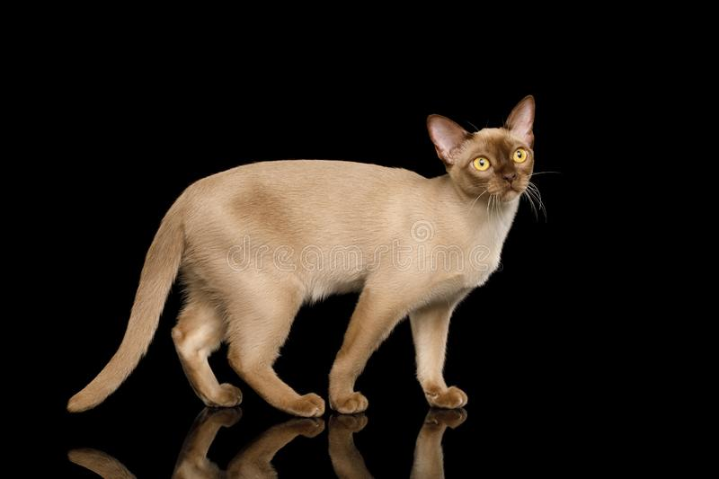 Brown burma cat isolated on black background. Cute Burmese Cat Standing and Looks Curious isolated on black background, side view royalty free stock image