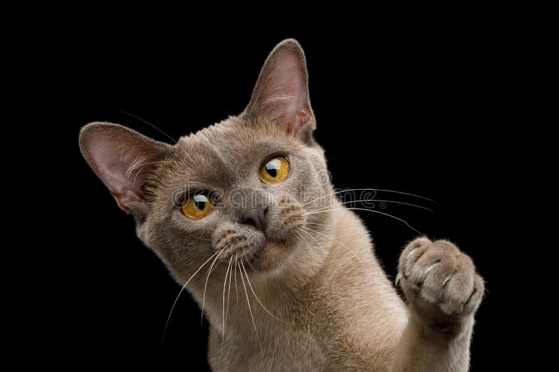 Brown burma cat isolated on black background. Cute Portrait of Playful Cat Raising up paw, isolated on black background, front view royalty free stock photo
