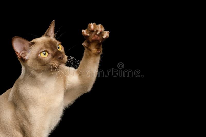 Brown burma cat isolated on black background stock photos