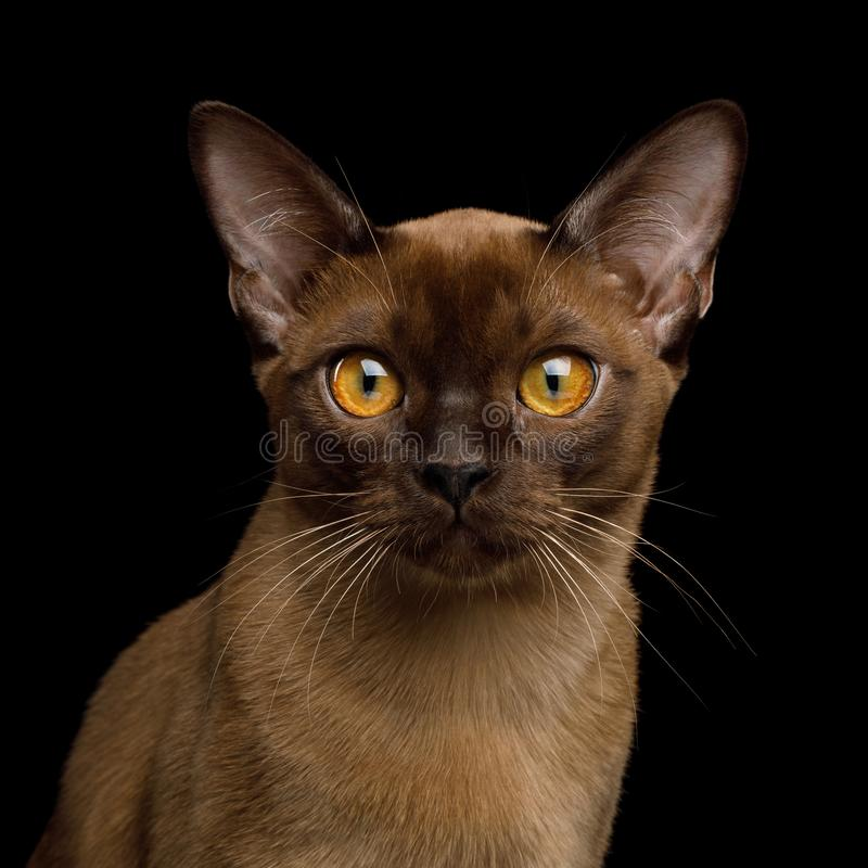 Brown burma cat isolated on black background. Portrait of Sable Burma Cat Stare in Camera isolated on black background, front view stock photo