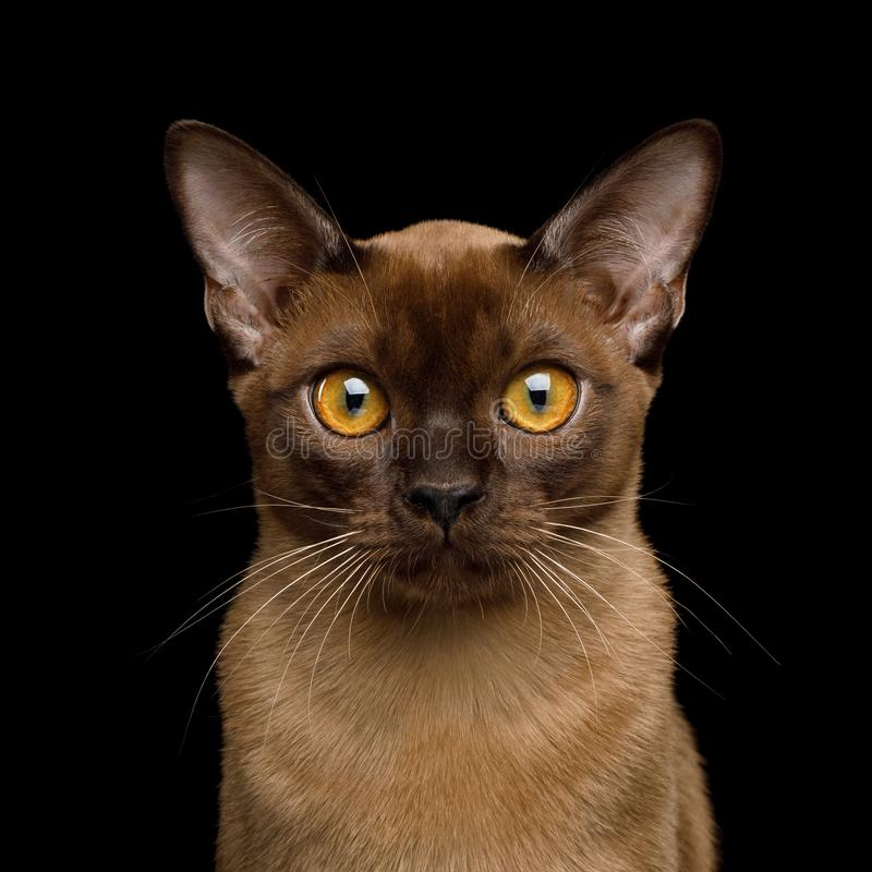 Brown burma cat isolated on black background. Portrait of Sable Burma Cat Stare in Camera isolated on black background, front view royalty free stock photography