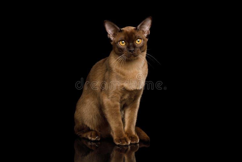 Brown Burma kot odizolowywający na czarnym tle fotografia royalty free
