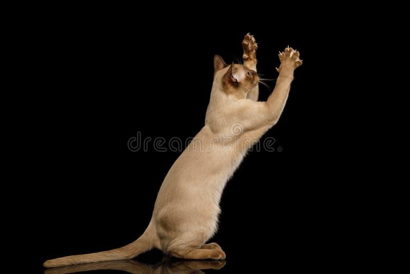 Brown Burma kot odizolowywający na czarnym tle fotografia stock