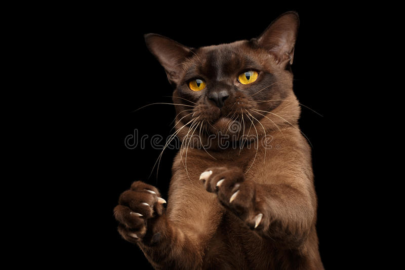 Brown burmese cat on black background stock photo
