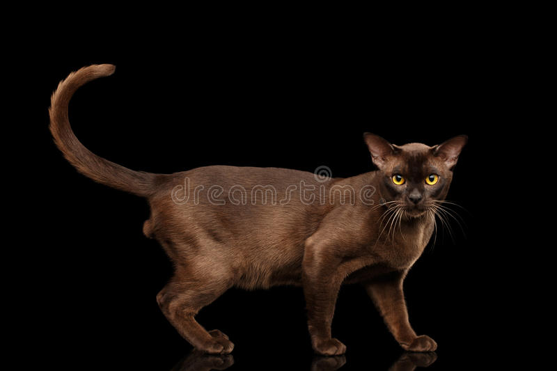 Brown burmese cat on black background royalty free stock photo