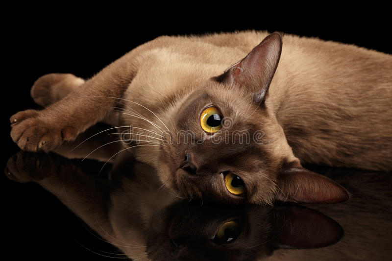 Brown burmese cat isolated on black background royalty free stock image