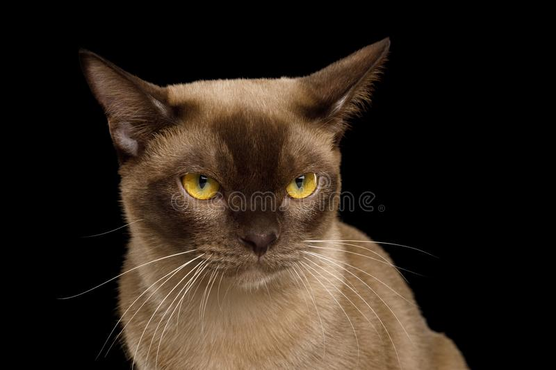Brown burmese cat isolated on black background royalty free stock photos