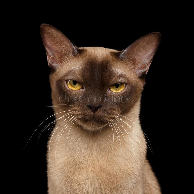 Brown burmese cat isolated on black background stock photography