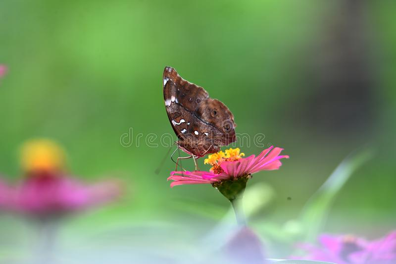Brown butterflies with black lines on the wings stock photo