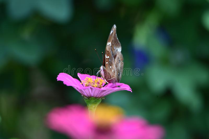 Brown butterflies with black lines on the wings stock photography