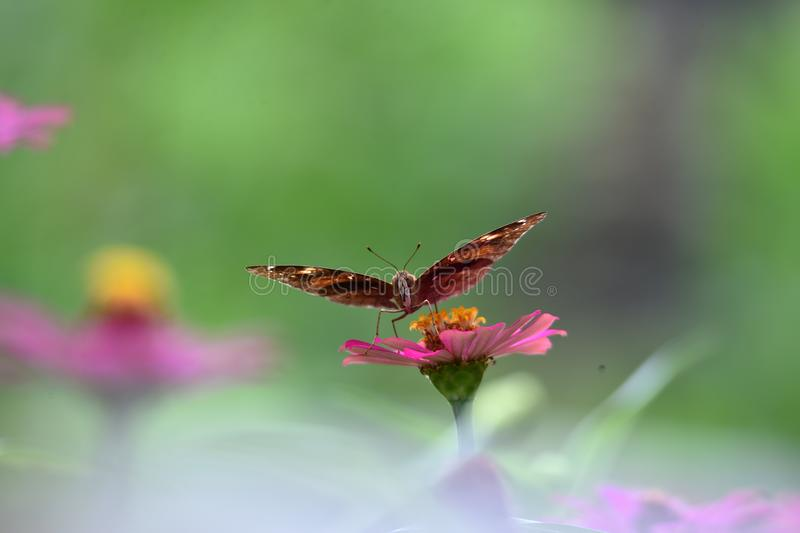 Brown butterflies with black lines on the wings stock image