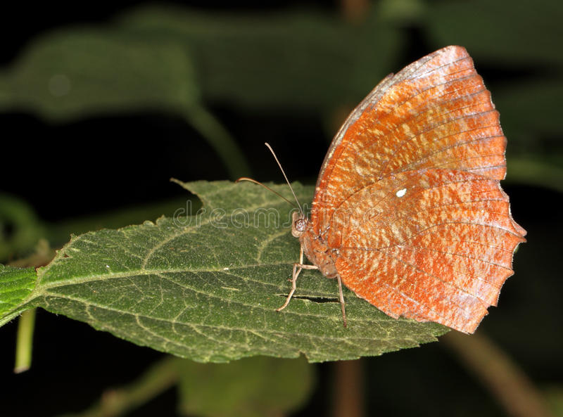 Download Brown Butterfly stock photo. Image of leaf, brown, photograph - 17694868