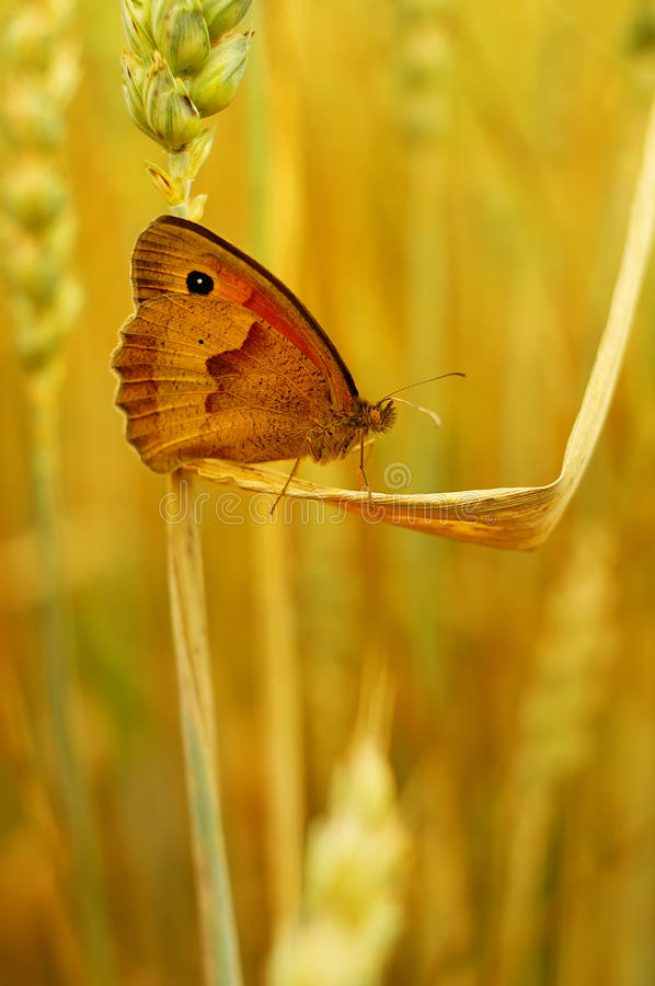 Download Brown butterfly stock photo. Image of ecology, spring - 29051348
