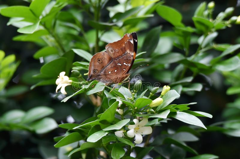 Brown butterfly above the flower that blooms royalty free stock image