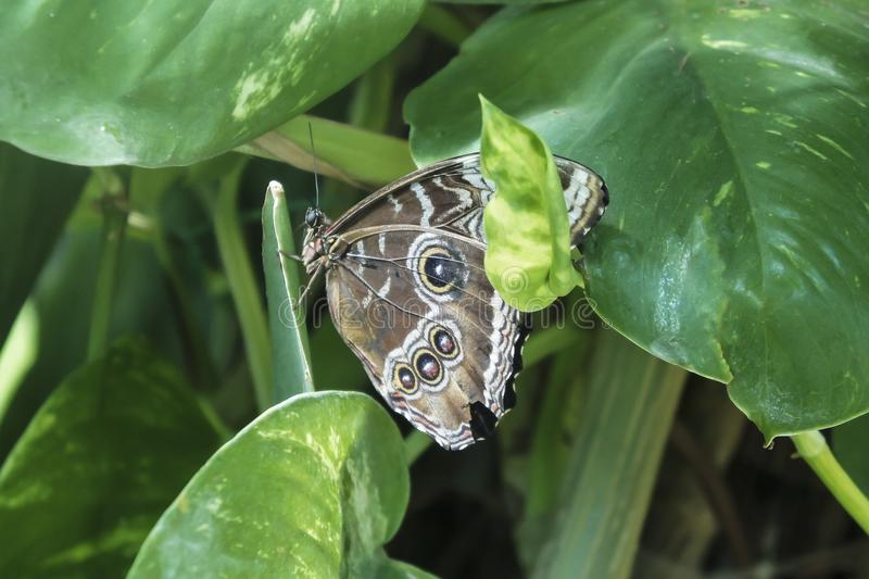 Brown butterfly with black and white spots. On background of leaves, Illioneus Giant-Owl Caligo illioneus , in natural habitat of green forest stock photography