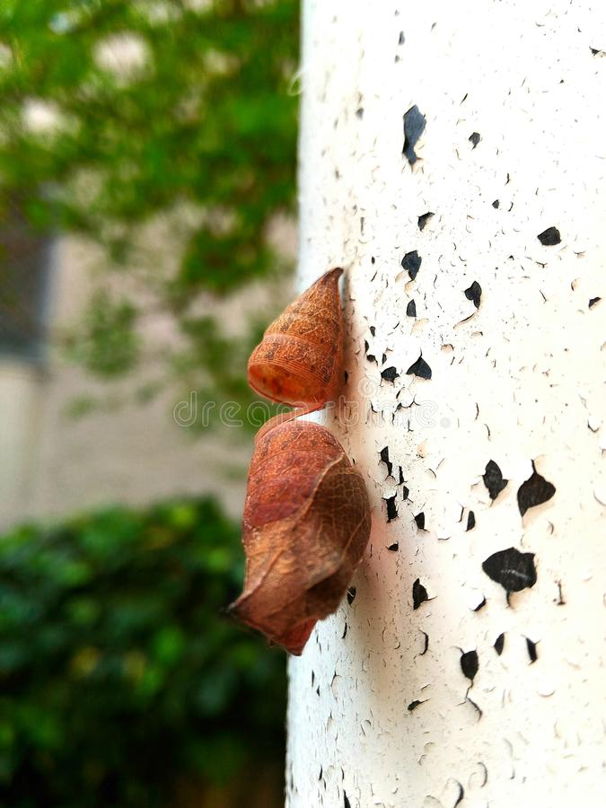 Brown butterfly chrysalis. Butterfly brown chrysalis hanging on the white wall. It remains in this state for months before going out and flying away stock photos