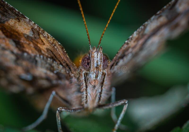 Brown Butterfly Close-up Fotografie lizenzfreies stockfoto