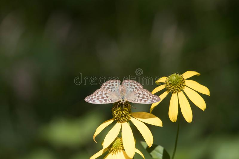 A brown butterfly on the Golden Glow stock photo