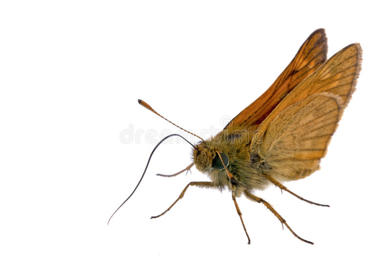 Brown butterfly. Nice brown butterfly sitting on a white background stock photography