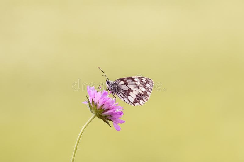Brown Butterfly Perched on Pink Flower royalty free stock photos