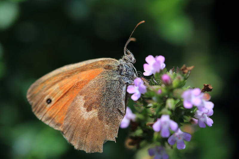 Brown Butterfly on the pink Flower in the green Nature stock photo