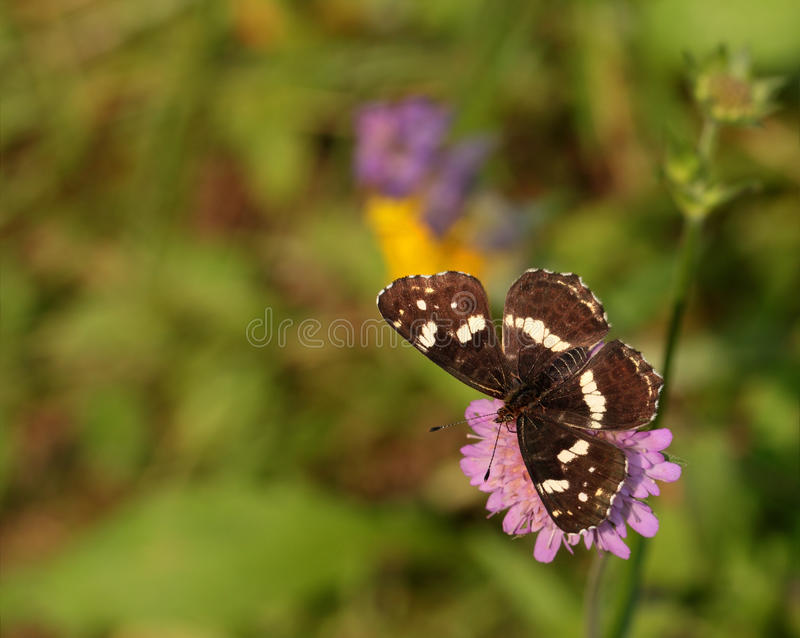 Brown Butterfly Royalty Free Stock Photography