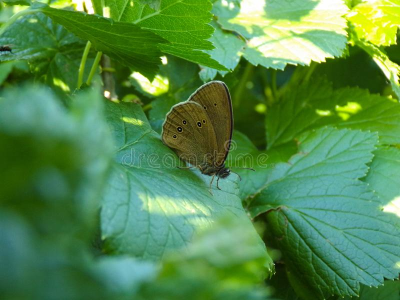 Beautiful butterfly close-up. Macro photography of insects. A brown butterfly sits in a currant bush in the garden. Beautiful butterfly close-up. Macro stock images