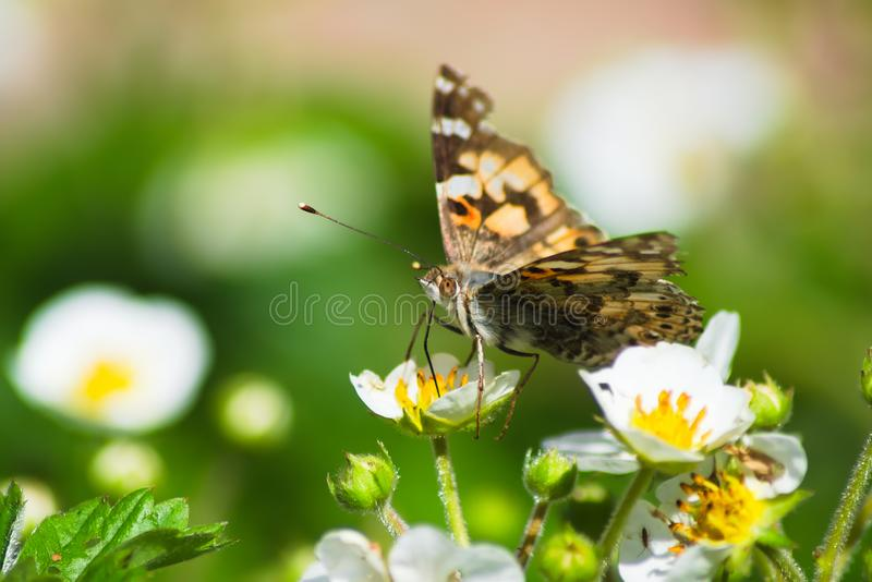 A brown butterfly sits on a white strawberry flower. stock photography