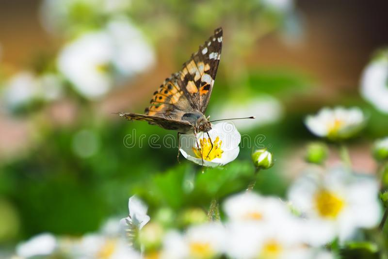 A brown butterfly sits on a white strawberry flower stock images