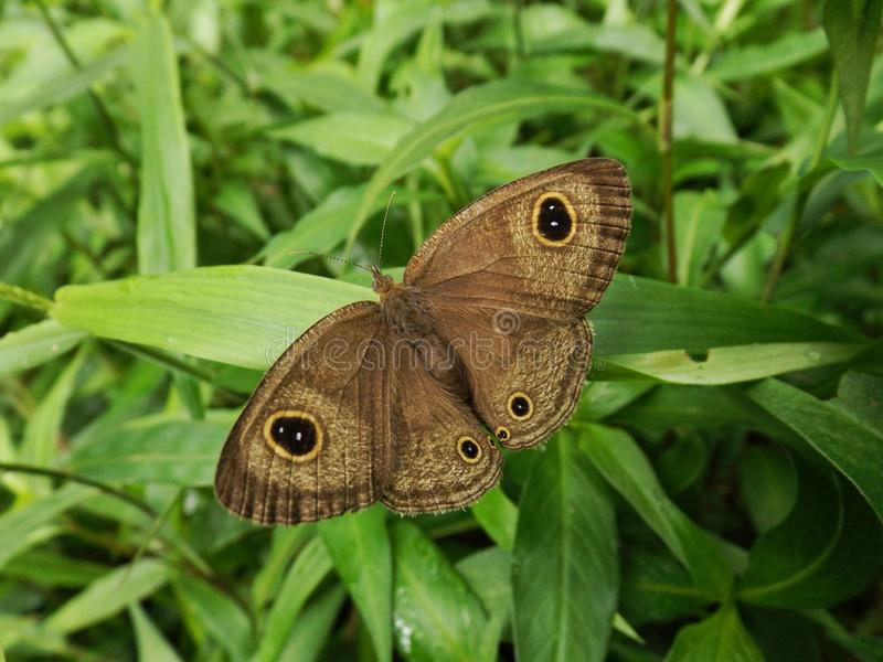 Brown butterfly spread the wings to mimic a bigger creature on the green grass royalty free stock photo