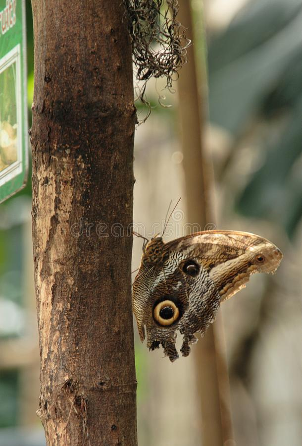 Brown Butterfly on a tree trunk. Brown Butterfly sitting on a tree trunk stock image