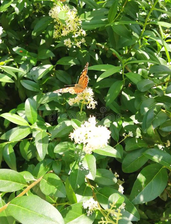 Brown butterfly on white flower. Brown bright butterfly on white flower with green leaves stock image