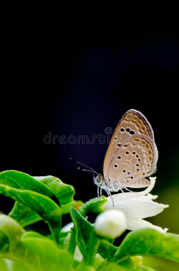 Brown butterfly on white flower and dark background. In garden stock image
