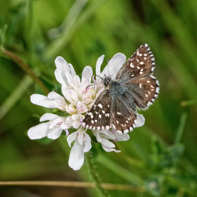 Brown butterfly on a white flower. Brown butterfly sitting on a white flower royalty free stock image