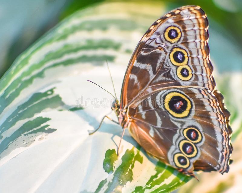 Brown Butterfly with Yellow Circles on a Leaf. A brown butterfly with yellow and black circles sitting on a giant green and white leaf of a tropical plant royalty free stock photography