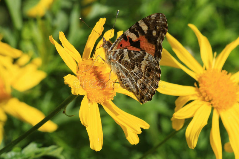 Brown butterfly on yellow daisies stock image