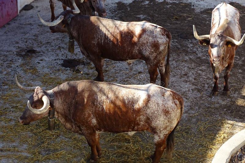 Brown byki w szczególe, manso byki w bullring zdjęcie stock