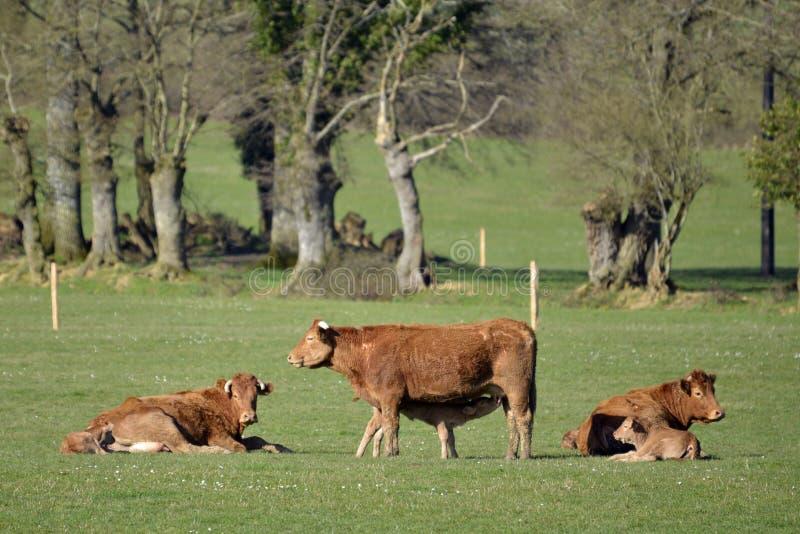 Brown calfs w łące i krowy obrazy stock