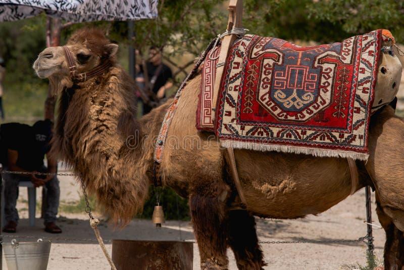 Brown Camel Free Public Domain Cc0 Image