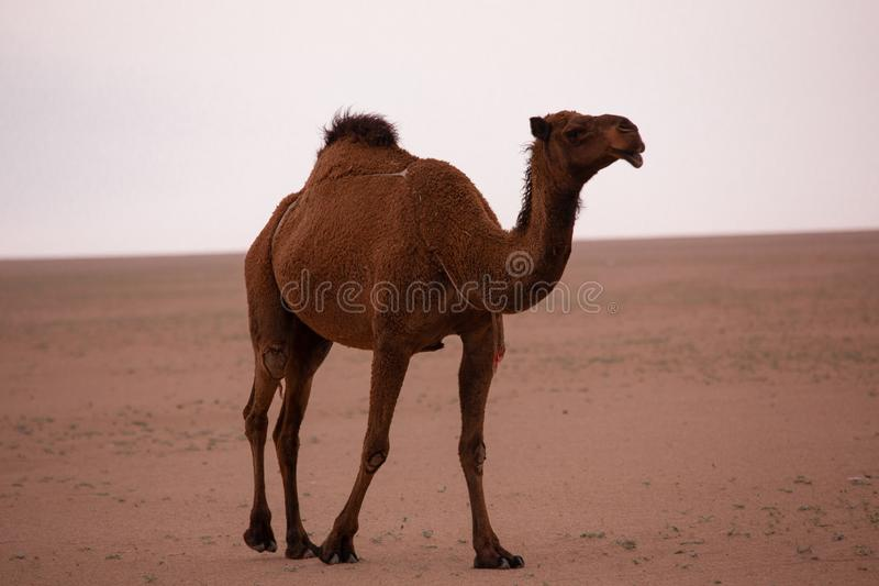 Brown camel in arabian desert stock image