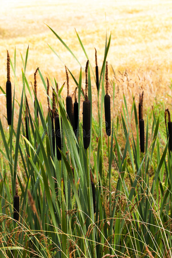 Cane. The brown canes growing in an autumn season royalty free stock images