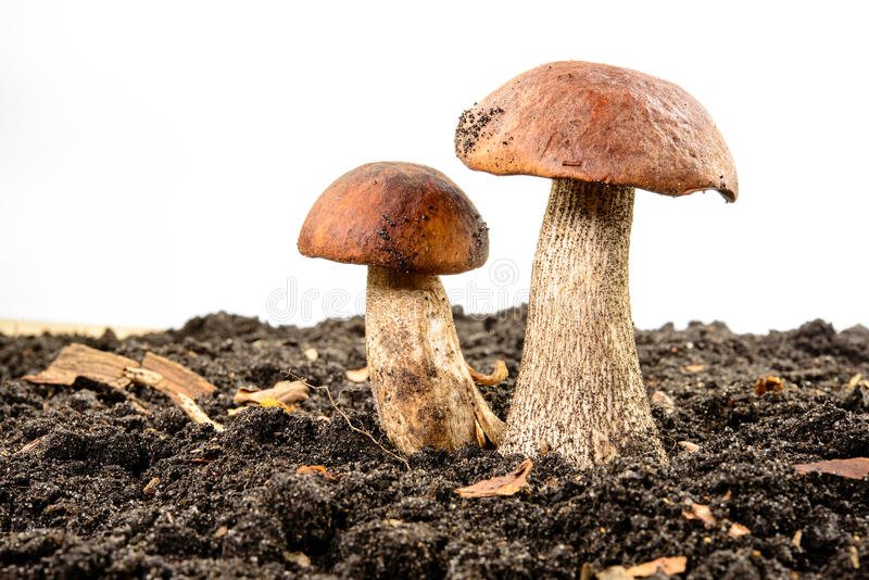 Brown cap boletus. Forest mushroom. royalty free stock photos