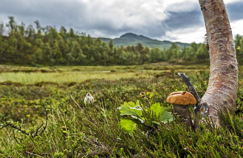 Brown cap boletus mushroom growing at the Trunk of Birch tree in focus at right of the picture. The landscape of Scandinavian. Tundra of Jamtland county of royalty free stock images