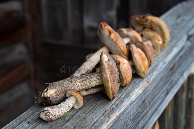 Brown cap boletus stock images