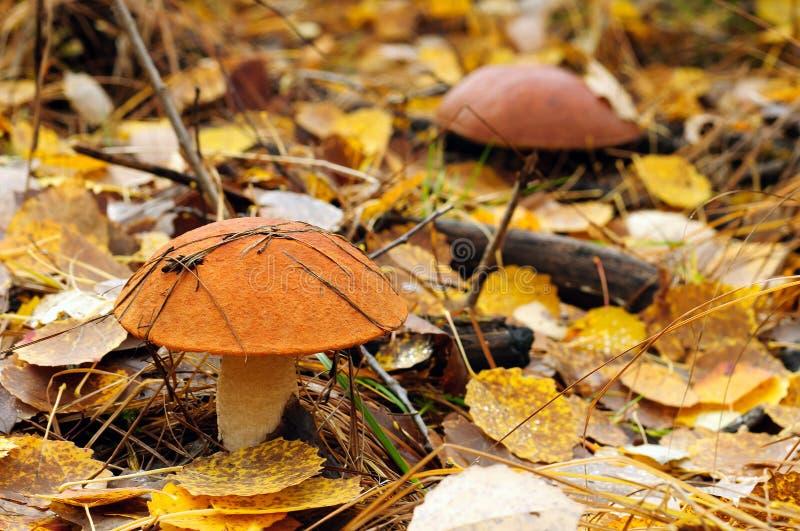 Download Brown cap mushroom stock image. Image of natural, mushroom - 21406881