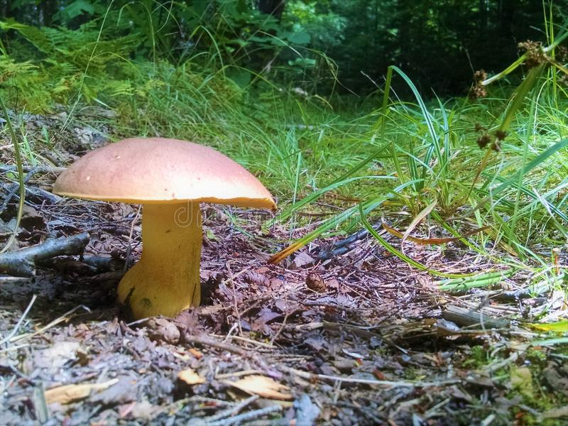 Brown capped stout mushroom stock photos