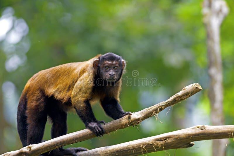 Brown Capuchin Monkey royalty free stock photo