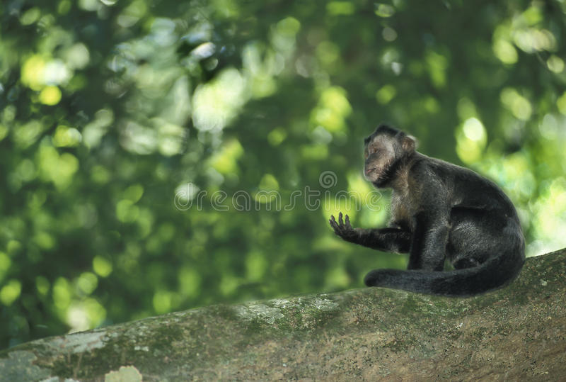 Brown Capuchin monkey. Brown Capuchin (Cebus apella). This South-American monkey is found east of the Andes from Colombia and Venezuela to Paraguay and northern royalty free stock photo